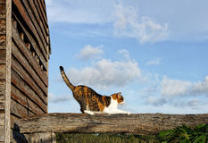 Tortoiseshell cat on fence. Stretching tortoiseshell cat on a textured wooden fence rail Stock Photography