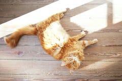 Cat on wooden floor Royalty Free Stock Photo