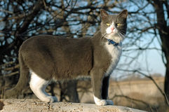 Cat in the woods. Domestic short-hair cat playing in the woods Royalty Free Stock Images
