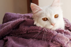 Cat wrapped in blanket Royalty Free Stock Photography