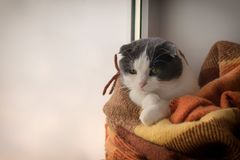 Cat wrapped up warm checkered plaid sitting on a window sill Royalty Free Stock Image