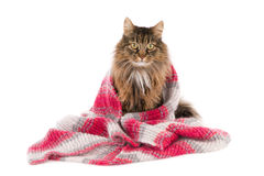 Cat wrapped in a woolen shawl. Sitting long haired cat, covered with a woolen shawl, isolated on white Royalty Free Stock Photos