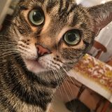 Cat Wuth Big Eyes sveglia Fotografia Stock