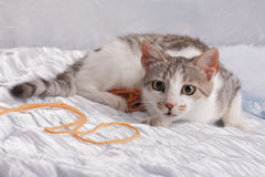 Cat and Yarn. European cat cub ready for action Stock Image