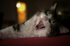 Cat yawn Stock Photography