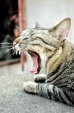 Cat yawn Royalty Free Stock Images