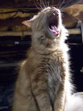 Cat yawn. My cat garfield yawning with his big chompers Royalty Free Stock Image