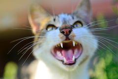 Cat yawn with open mouth. stock images