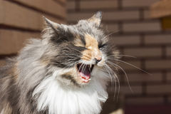 Cat yawn Royalty Free Stock Photography