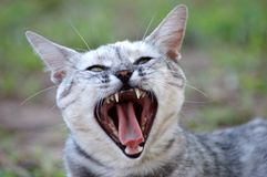 Cat yawning Stock Image