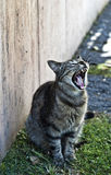 Cat yawning. Yawning cat on green grass stock images