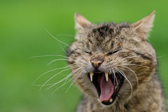 Cat yawning Royalty Free Stock Photos