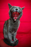Cat yawning. Cute Russian blue cat yawning after sleeping stock photography