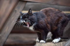 Cat yawning Stock Photos