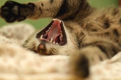 Cat yawning. Brown tabby cat lying in human bed, yawning. Selective focus stock images