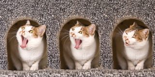 Cat is yawning continuous action Stock Photos