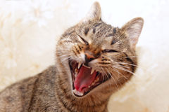Cat yawning face Royalty Free Stock Image