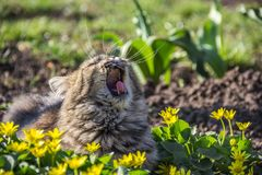 Cat is yawning. Fluffy cat in the garden. Cat relaxes in the sun stock image