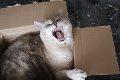 A cat is yawning in front of you Royalty Free Stock Images