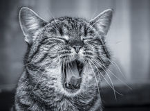 Cat yawning Royalty Free Stock Image