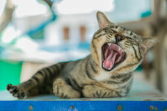 Cat yawning mouth full Stock Images