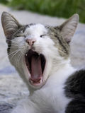 Cat yawning mouth full Royalty Free Stock Photos