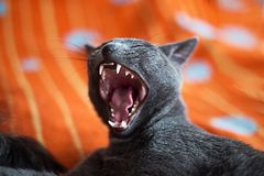 Cat yawning with mouth wide open and shows fangs stock photography