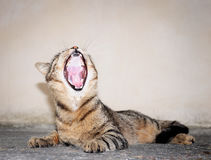 Cat yawning with mouth. Royalty Free Stock Photo