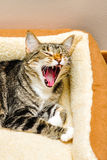Cat Yawning. A cat yawning after a nice nap stock photos