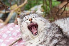 Cat yawning Stock Images