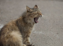 Cat yawning Royalty Free Stock Image