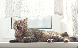 The cat yawns. The cat lies on a window sill and yawns Royalty Free Stock Image
