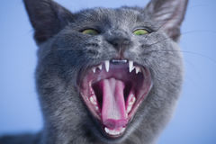 Cat yawns Royalty Free Stock Photos