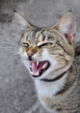 Cat yawns stock images
