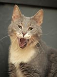 Cat yawns Stock Photography
