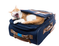 Cat yawns lying in the pocket of a blue suitcase Royalty Free Stock Image