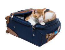 Cat yawns lying in the pocket of a suitcase. Stock Images