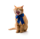 Cat yawns Stock Photos