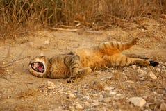 Cat yawns Royalty Free Stock Photos