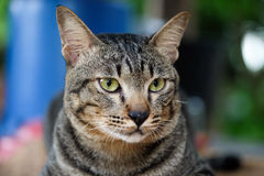 Cat. Yellow eye cat is a nice Royalty Free Stock Photos