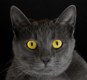 Cat with yellow eyes. Portrait of alert gray cat staring with yellow eyes, black background Royalty Free Stock Photo
