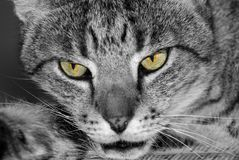 Cat with yellow eyes. Portrait of black and grey or gray cat with yellow eyes Royalty Free Stock Photos