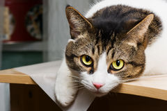 Cat with yellow eyes. Cat lying on the table stock image