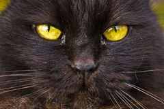 Cat yellow eyes Royalty Free Stock Photos