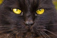 Cat yellow eyes Royalty Free Stock Photos