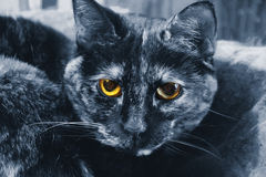 Cat Yellow Eyes blu Fotografia Stock Libera da Diritti