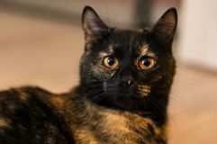 Cat with yellow eyes. Brown cat with yellow eyes looks alert Stock Images