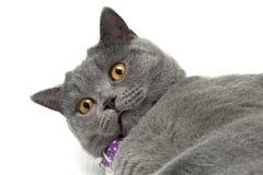 Cat with yellow eyes closeup Royalty Free Stock Photos