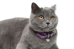 Cat with yellow eyes and a collar of lilac color on white backgr Royalty Free Stock Photo
