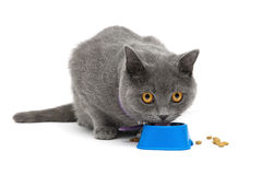 Cat with yellow eyes eating food from a bowl on a white background Stock Images